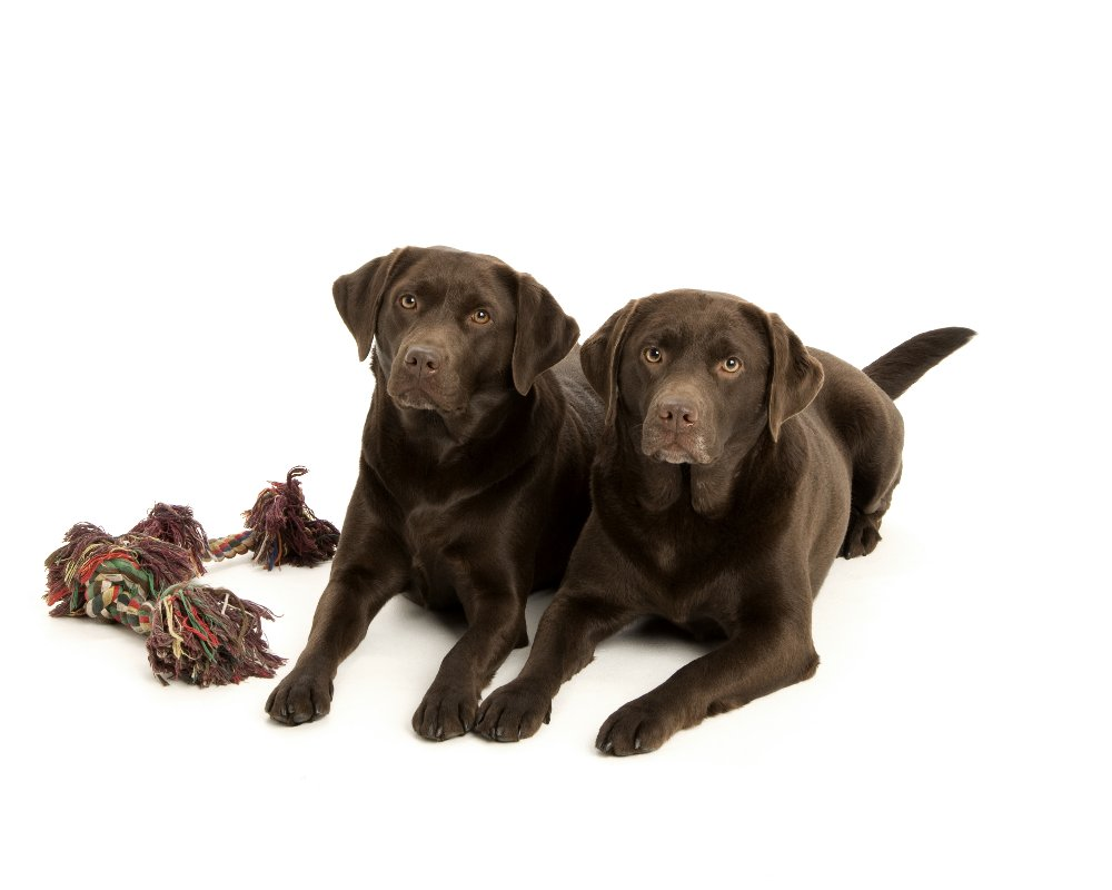 chocolate labradors,labrador,dog, pet dog, picture, photograph, by Phill Andrew, The Image Mill, Bradford, West Yorkshire