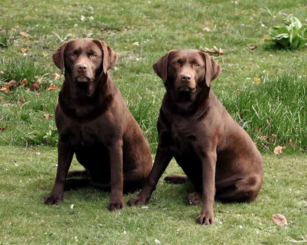 chocolate labradors,labrador,dog, pet dog, picture, photograph, by ...
