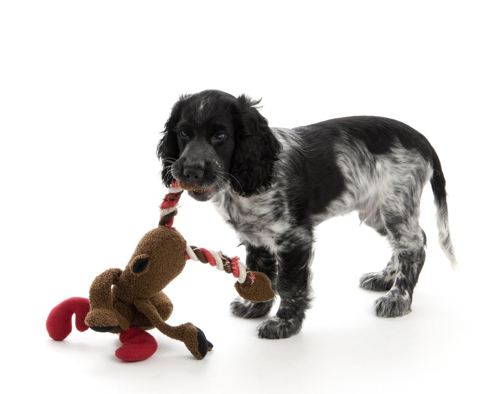 cocker spaniel,spaniel,blue roan,puppy,dog, pet dog, picture, photograph, by Phill Andrew, The Image Mill, Bradford, West Yorkshire