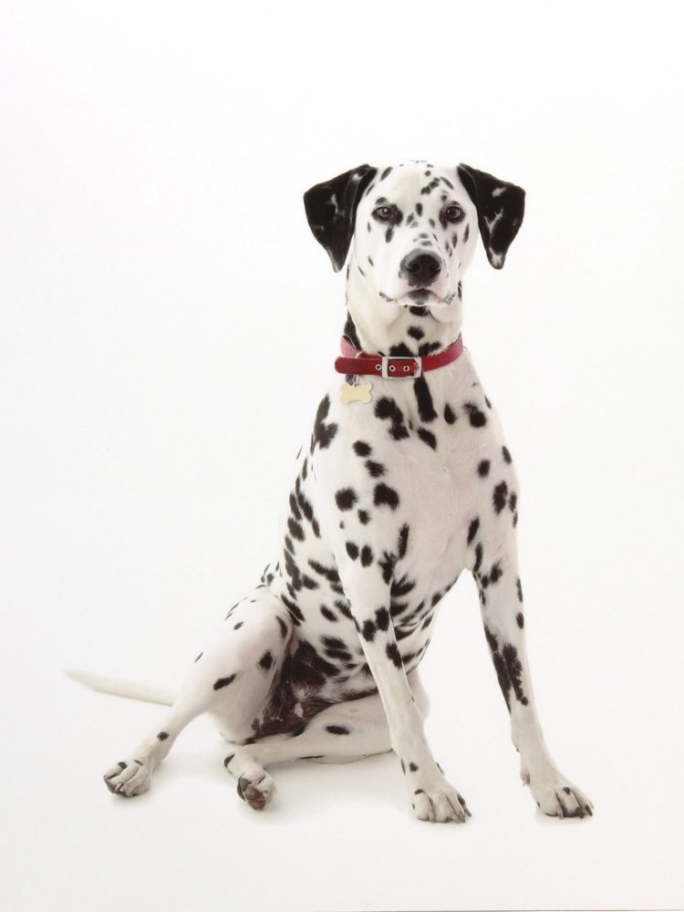 dalmation,dalmation dog,puppy,dog, pet dog, picture, photograph, by Phill Andrew, The Image Mill, Bradford, West Yorkshire