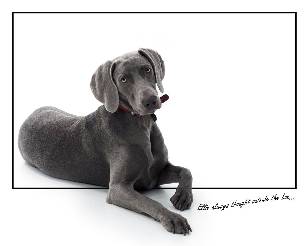 weimaraner,ghost dog,dog, pet dog, picture, photograph, by Phill Andrew, The Image Mill, Bradford, West Yorkshire